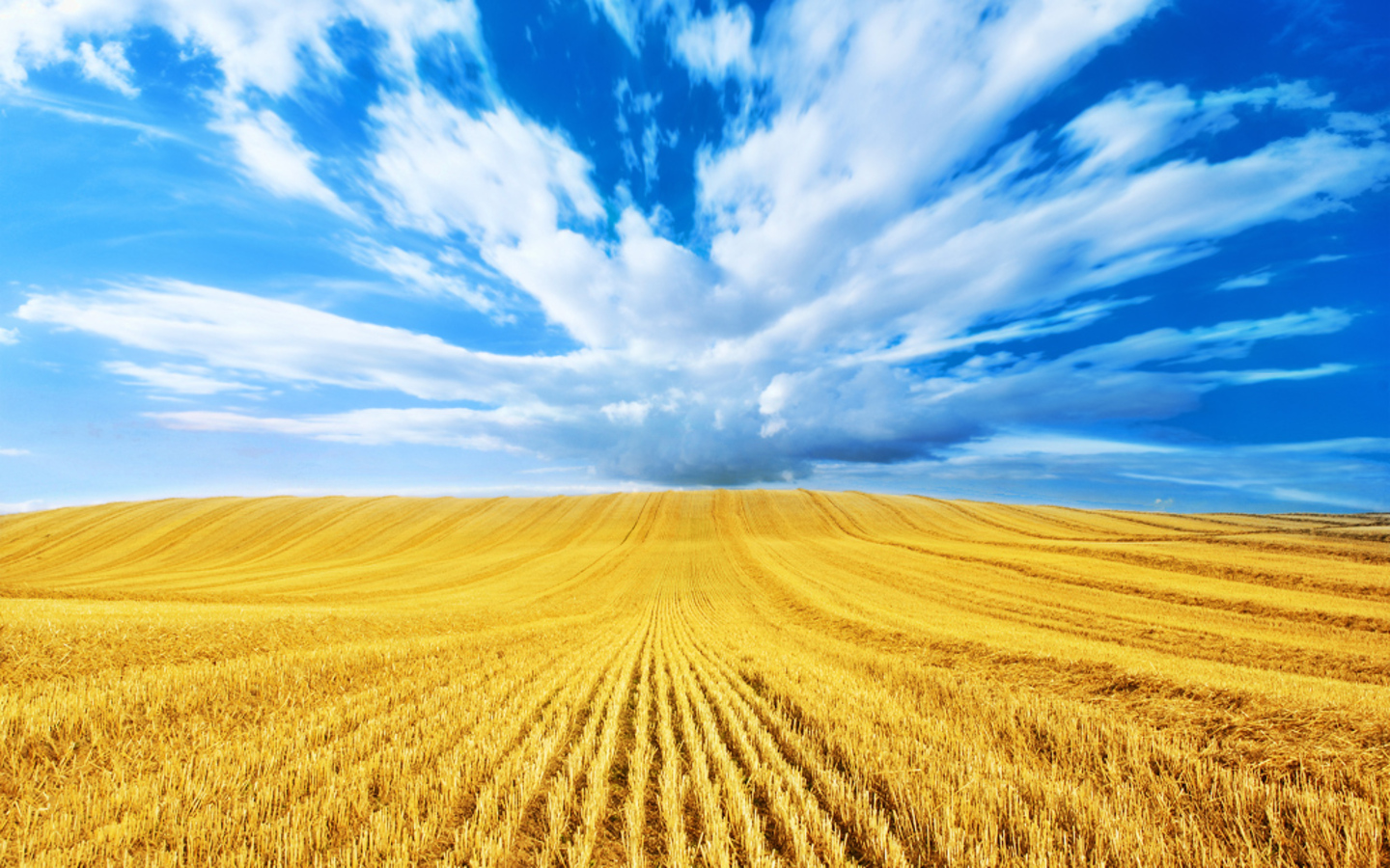 golden-harvest-blue-clouds-gold-wheat-field-hd-wallpaper-download-wheat-field-images